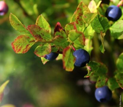 Blueberry kopi