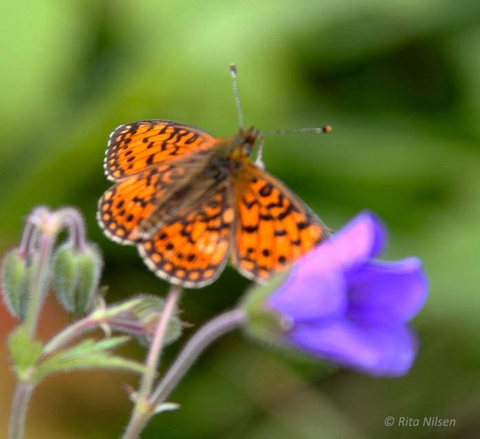 ORange og lilla sommerfuglblomst