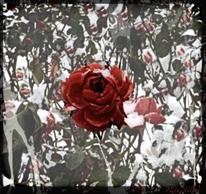Roser i kaldt landskap